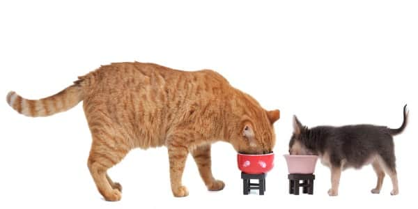 cat eating from a raised cat bowl