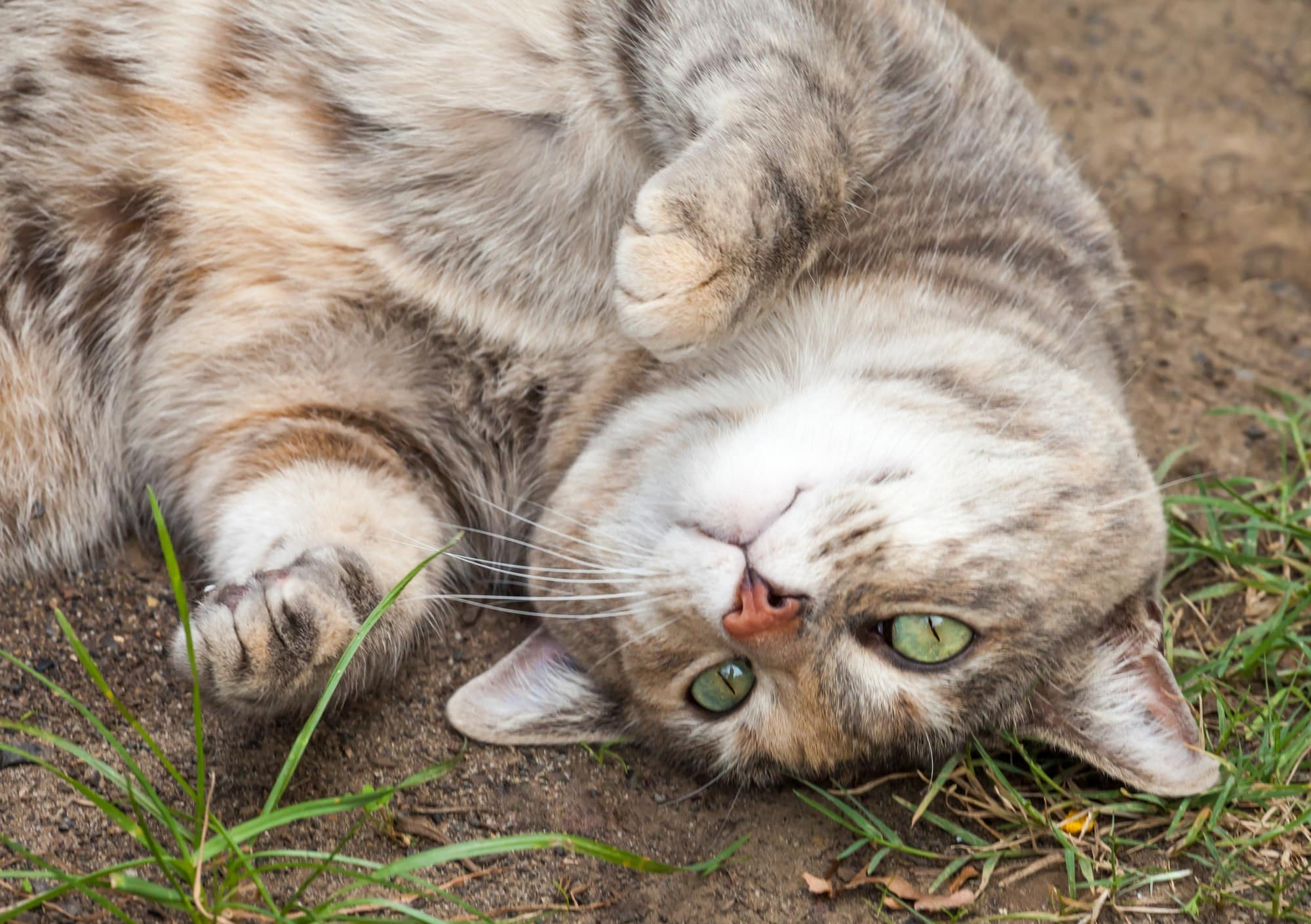cats like rolling around in the dirt