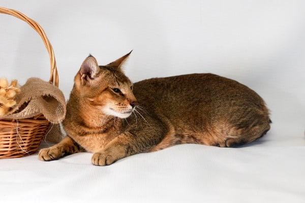 Chausie Large Cat Breed