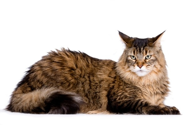 Maine Coon breed of cat
