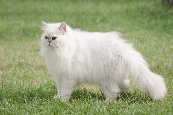 Persian Cat A large cat breed