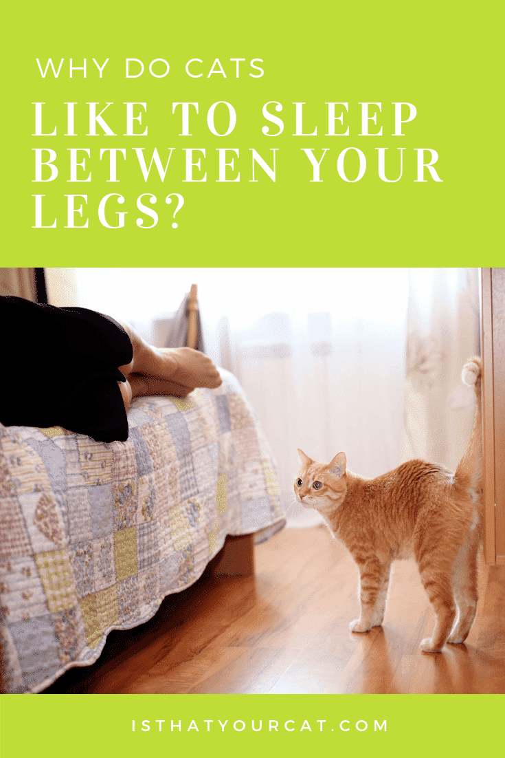 Why do cats like to sleep between your legs