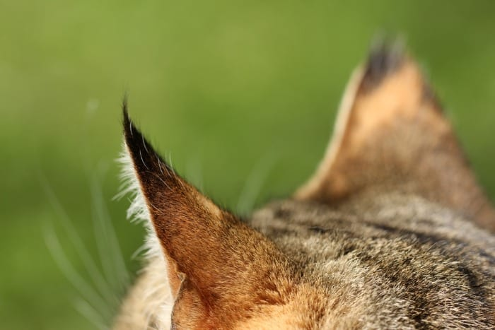 ears of a cat swivelling to hear sound