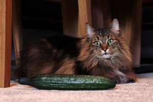 why are cats so afraid of cucumbers