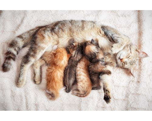 a pregnant cat needs Taurine for the health of her kittens