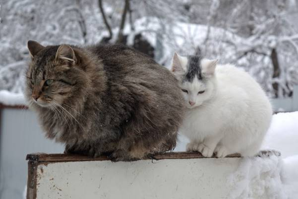 how do different cat breeds cope with cold weather