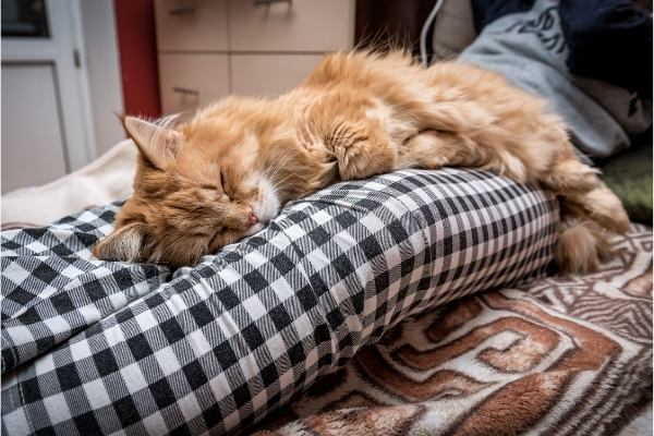 ginger cat stretched out between owners legs